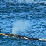 Whale Watching, Hermanus. Table Mountain Treks and Tours. Cape Hiking Trails.